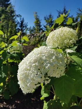 Pallohortensia on syksyin upeimpia kukkivia pensaita
