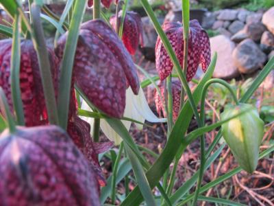 Kirjopikarililjat kukkivat keväällä